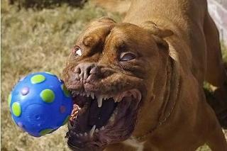 凶暴な表情の犬 1